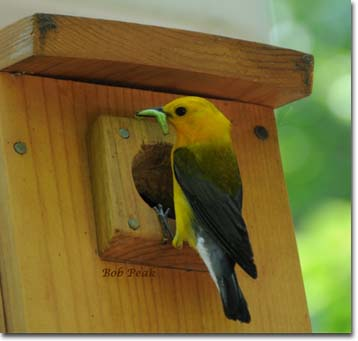 Prothonotary Warbler at nest box