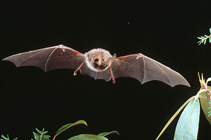 Rafinesque's big-eared bat in flight
