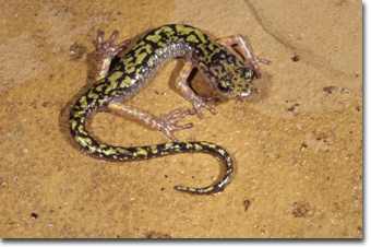 Green Salamander, Photo by John R. MacGregor