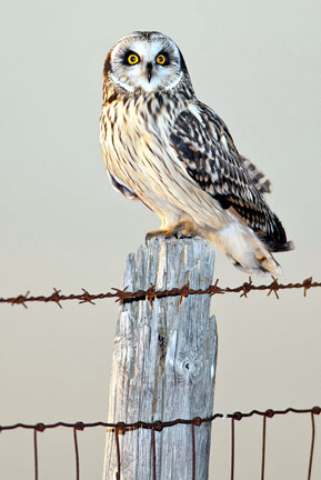 Adult Short-eared Owl