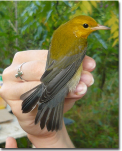 This Prothonotary Warbler was captured at the Shaker Village of Pleasant Hill MAPS station in fall 2011.  This area serves as stopover habitat for this species.  Photo credit: KDFWR